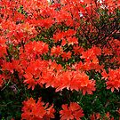 Orange Mollis Azalea by Bev Pascoe