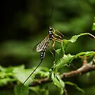 ichneumon fly by mdetroit