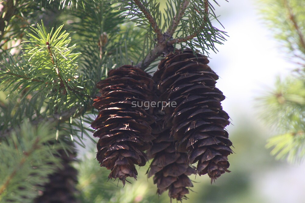 Pinecones by sugerpie