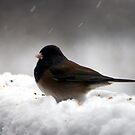 Junco by Lee Anne French
