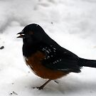 Towhee by Lee Anne French