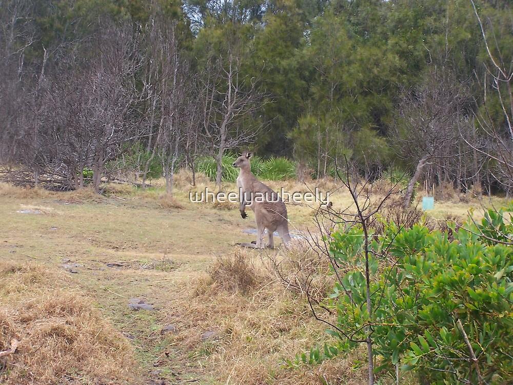Kangaroo at Kiola Caravan  Park by wheelyawheely