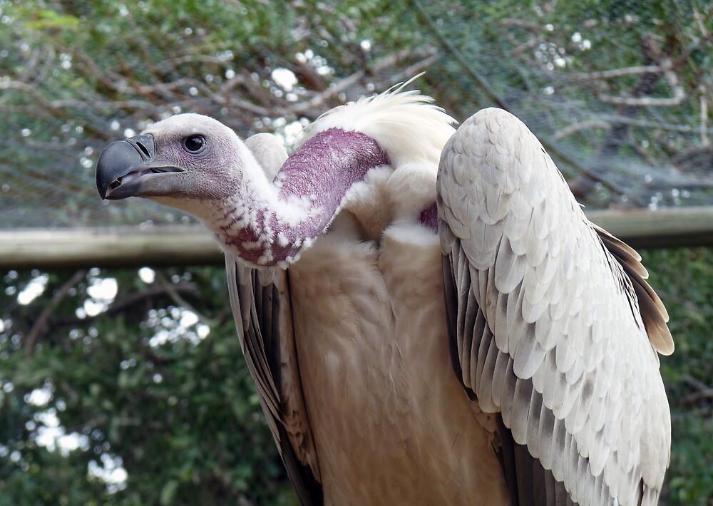 scavenger - Vulture, South Africa by nikivandersmagt