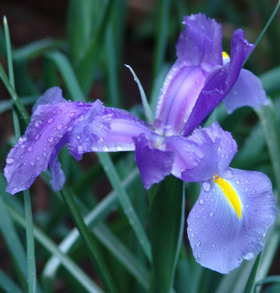 Iris by Baron