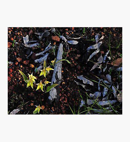 Caladenia flava in burnt area Photographic Print