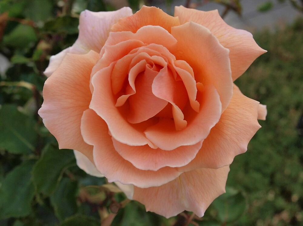 Apricot Beauty by Allison Peters