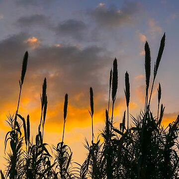 flowering Cane closeup with pastel coloured background at sunset by PhotoStock-Isra