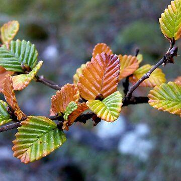 Autumn Colours, Fagus, Cradle Mountain, Tasmania, Australia. by kaysharp