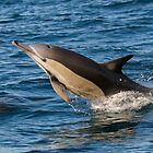 Breaching Common Dolphin by Jodie Lowe