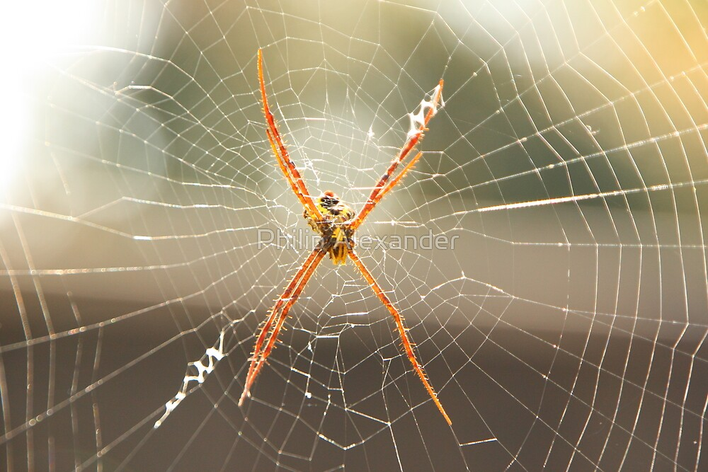 Spider in the web by Philip Alexander