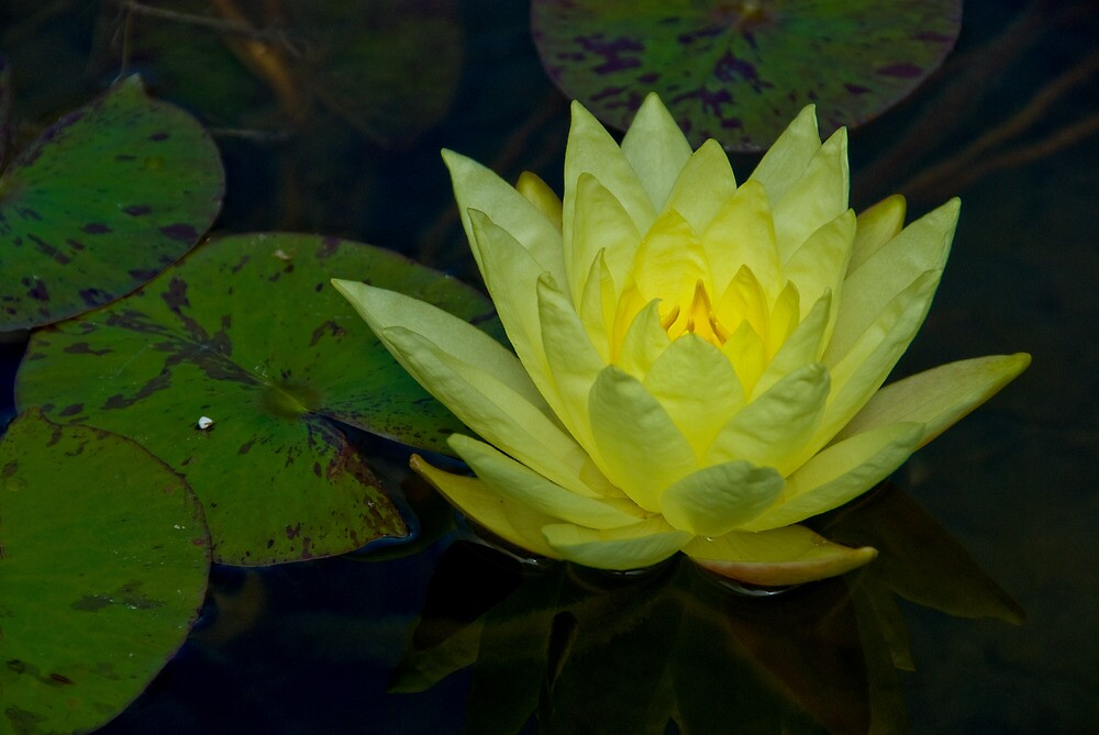 Water Lily Outside My Window by Cathy P. Austin