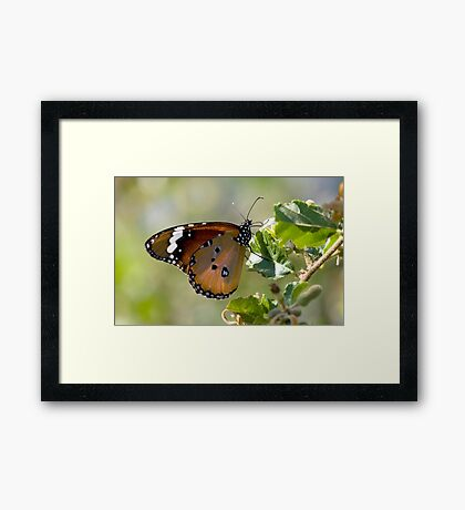 African Monarch Butterfly Framed Print