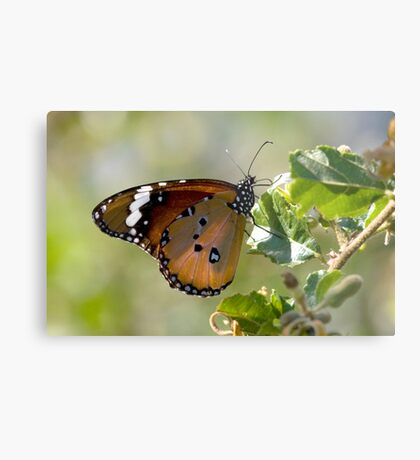 African Monarch Butterfly Metal Print