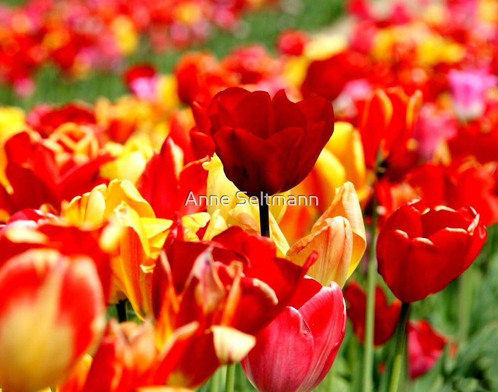 tulip field by Anne Seltmann