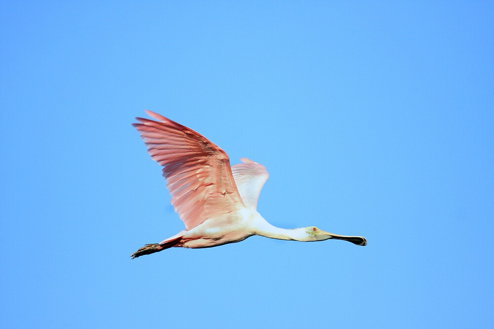 Roseated Spoonbill by noffi