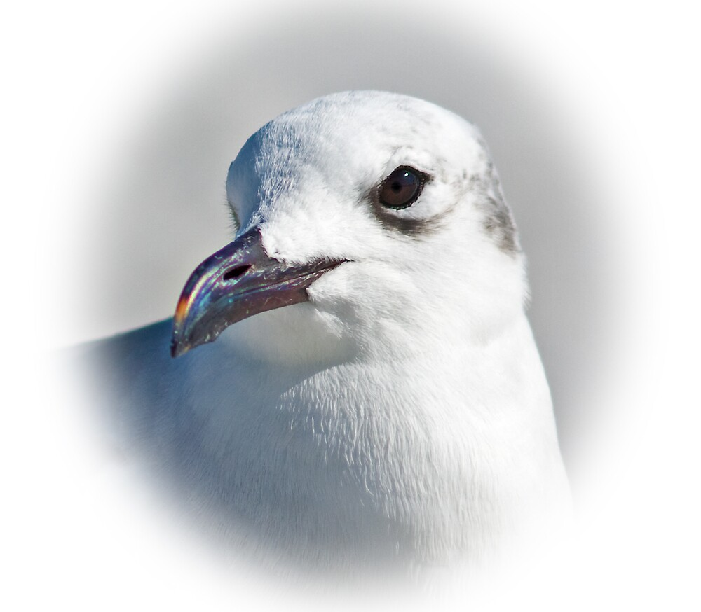 Laughing Gull by Delores Knowles