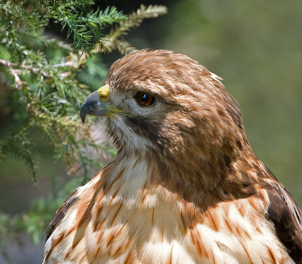 Red-shouldered Hawk by Delores Knowles