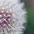 Macro Dandelion by Jonathan Hughes