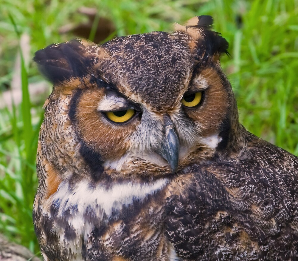 Great Horned Owl by Delores Knowles
