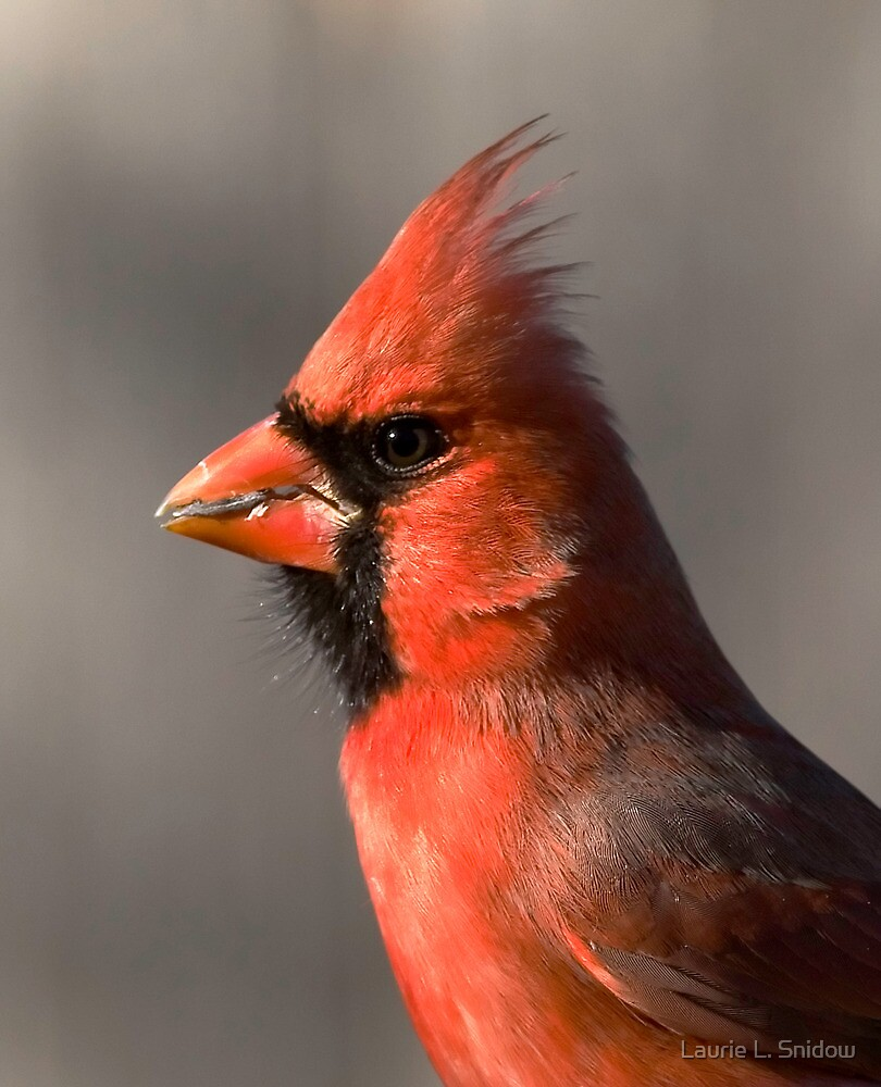 Male Cardinal by Laurie L. Snidow