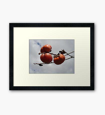 Japanese Persimmons Framed Print