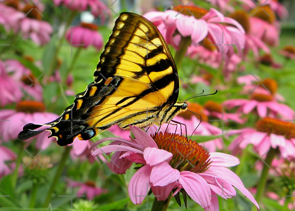 Tiger Swallowtail by Beverlytazangel