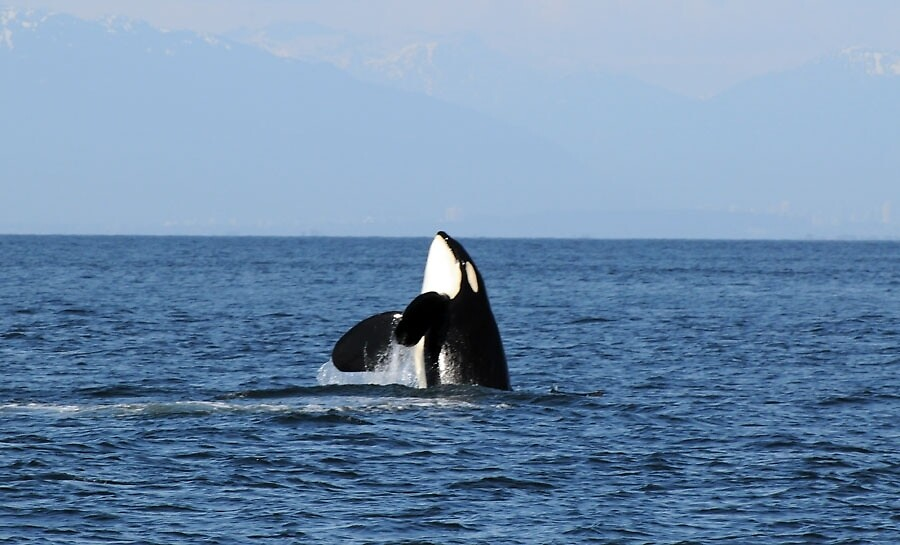 Orca Wild and Free by Dixie Duncan