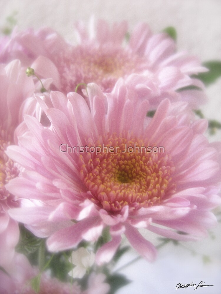 Pink Chrystanthemums 1 by Christopher Johnson