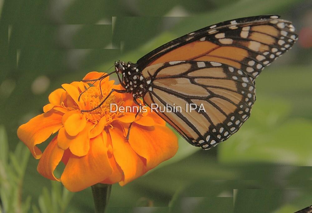 Succulent Orange by Dennis Rubin IPA