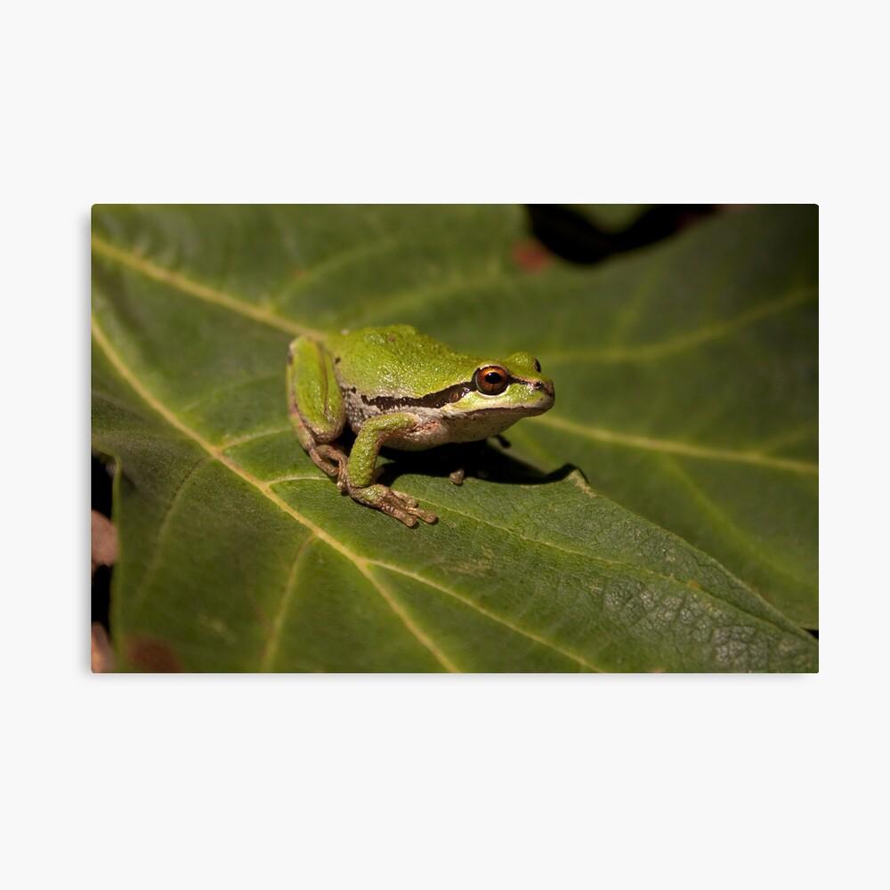 Pacific Treefrog Canvas Print