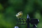 Baby Blue tit 2 by davesphotographics