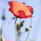 Beautiful Poppy in a Field With Blue Skies by Shelly Still