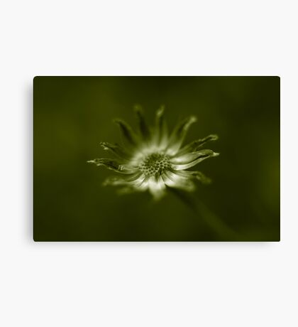 end of daisy days Canvas Print