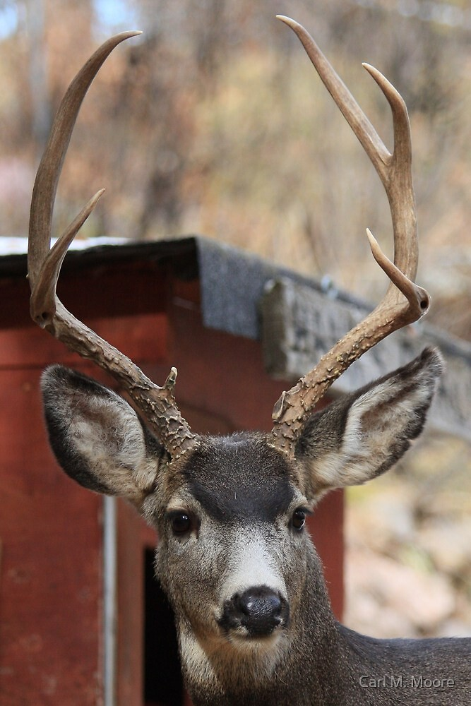 Young Buck by Carl M. Moore