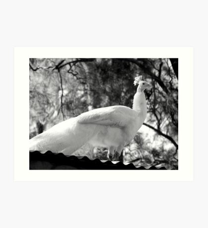 Albino Peacock Delivers Inspirational Speech From Atop Mount Corrugate Art Print