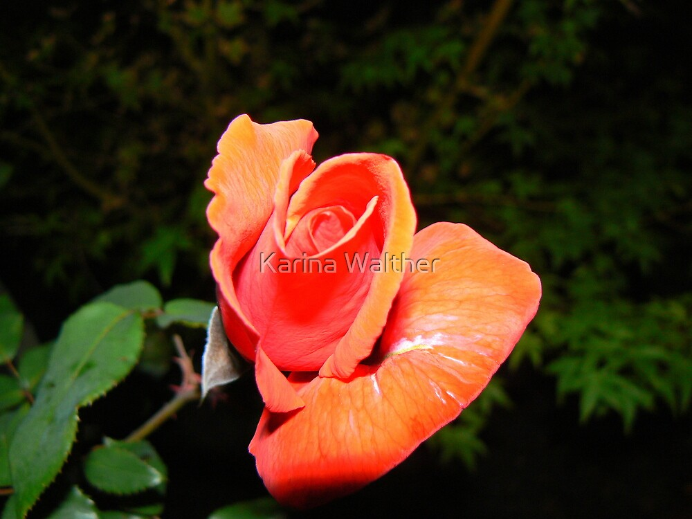 Orange Rose by Karina Walther