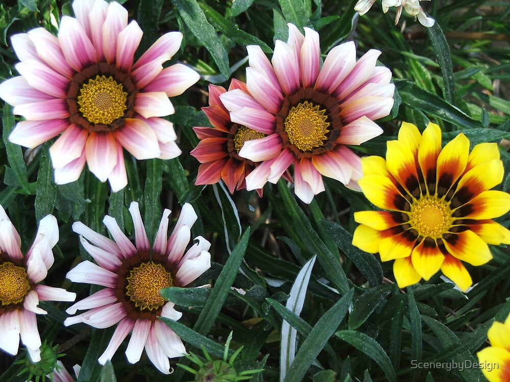Daisies (3081) by ScenerybyDesign