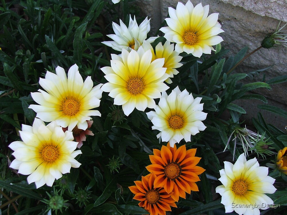 Daisies (3085) by ScenerybyDesign