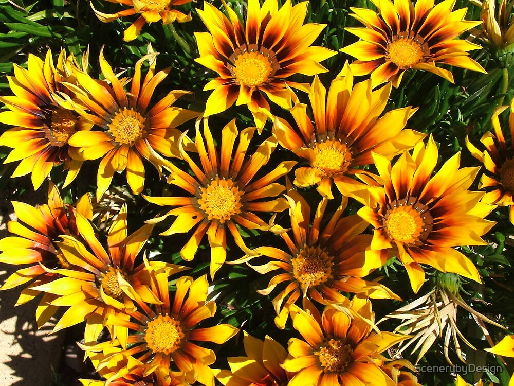 Daisies (3086) by ScenerybyDesign