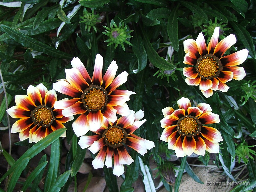 Daisies (3087) by ScenerybyDesign