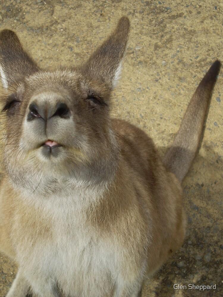 Curious Kangaroo by Glen Sheppard