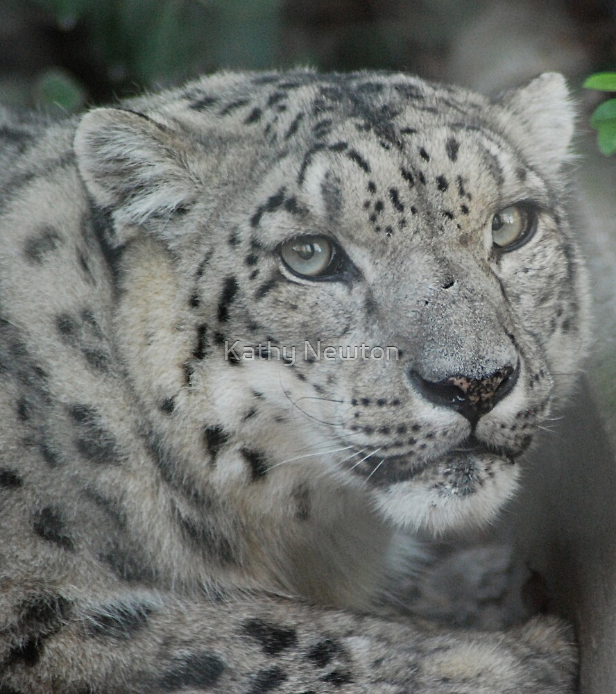 Snow Leopard by Kathy Newton