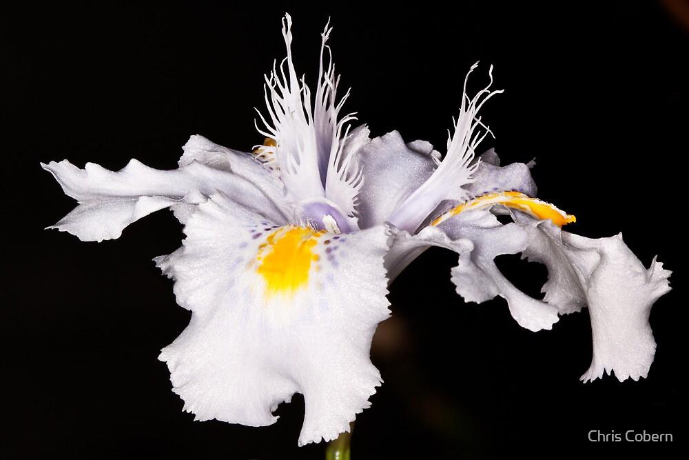 White Iris by Chris Cobern