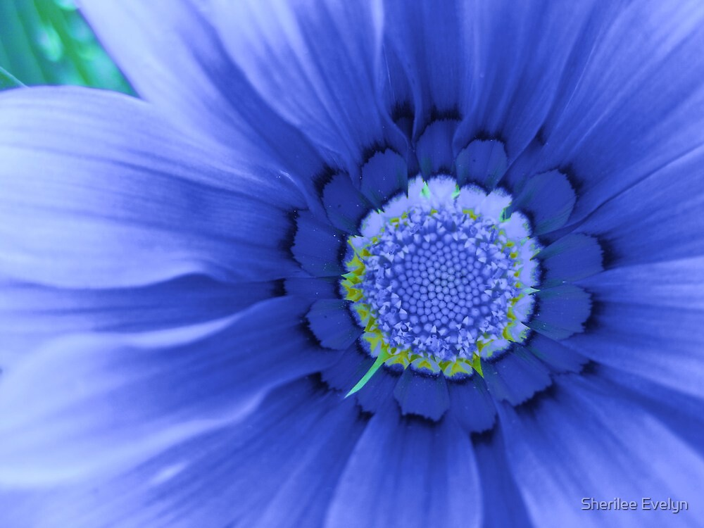 Blue Gazania by Sherilee Evelyn