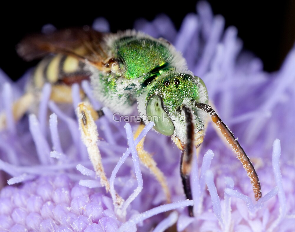 Green Bee on perennial Ageratum by Cranston Reid