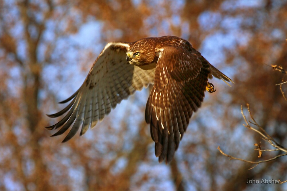 Hawk in Flight - Eye on The Prize by John Absher