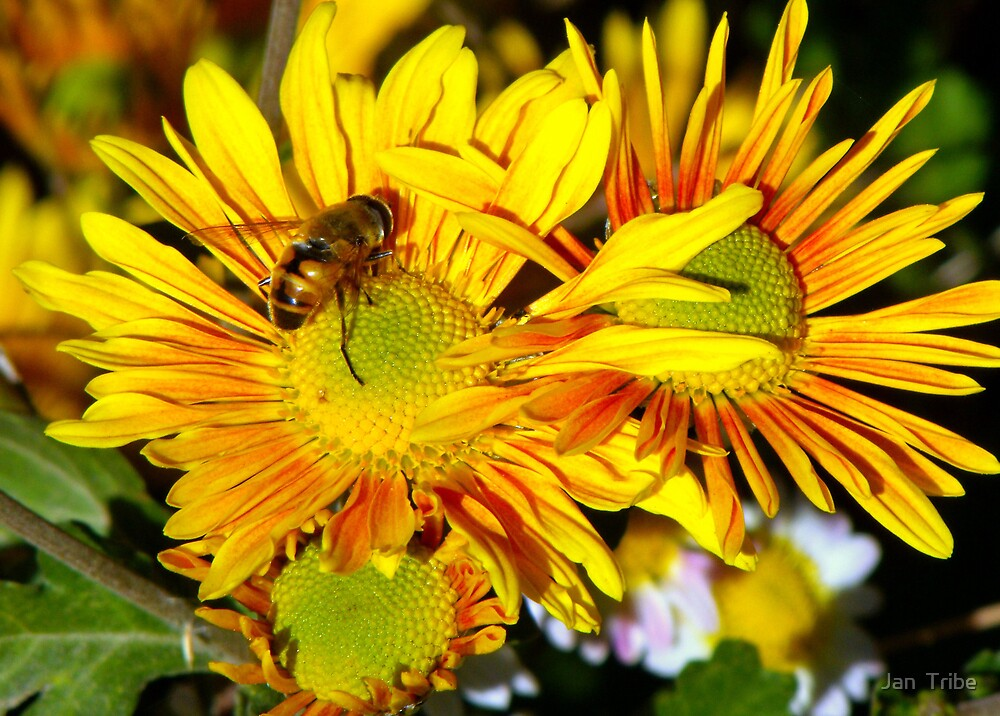 Hover fly on Yellow by Jan  Tribe