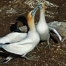 New Zealand Gannets by NickBlake