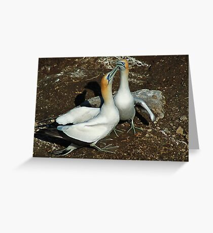 New Zealand Gannets Greeting Card