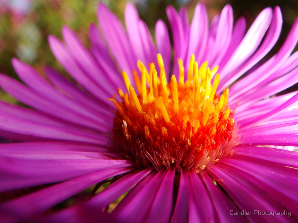 Flower of Fire by Candler Photography